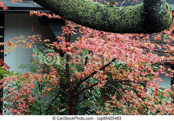 árbol, autumn., amarillo rojo, japonés, color, liquen, verde, cambio, hoja, moss., naranja, lluvia, tronco, después, permisos de arce - csp85425483