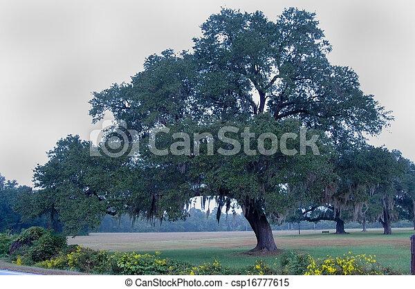 Árbol de roble con musgo español - csp16777615