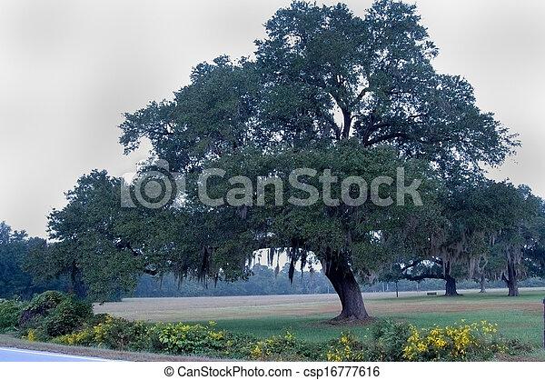 Árbol de roble con musgo español - csp16777616