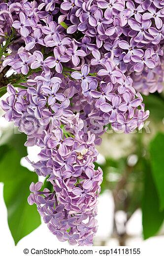 Árbol lila en primavera - csp14118155