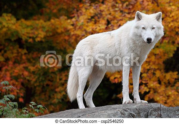 Lobo Ártico mirando la cámara en un día de otoño - csp2546250