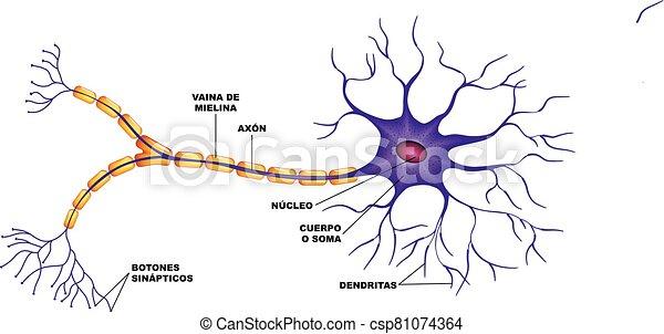-, humano, la, partes, cerebro, de, neurona - csp81074364