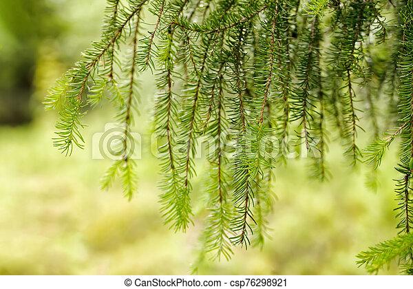 abajo, verde, árbol hoja perenne, agujas, ramas de árbol, ahorcadura - csp76298921
