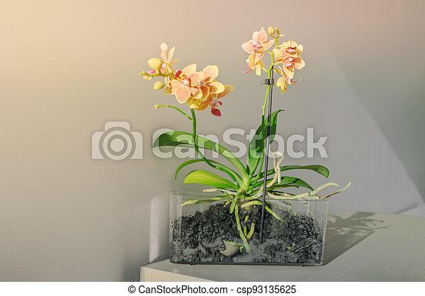 actuación, planta de interior, home., flores, tabla, orquídeas, transparente, mini, luz del sol, planta, orchind, olla, raíces, decoración - csp93135625