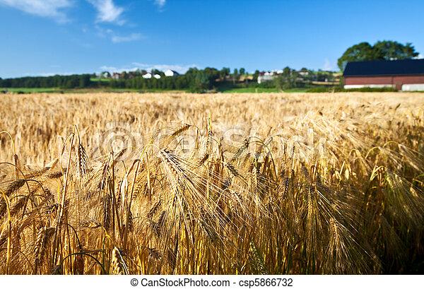 Agricultura, trigo de centeno, cielo azul - csp5866732