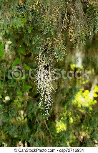 Musgo español colgando de una rama de árbol - csp72716934