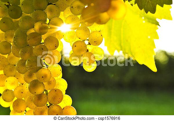 Uvas amarillas - csp1576916