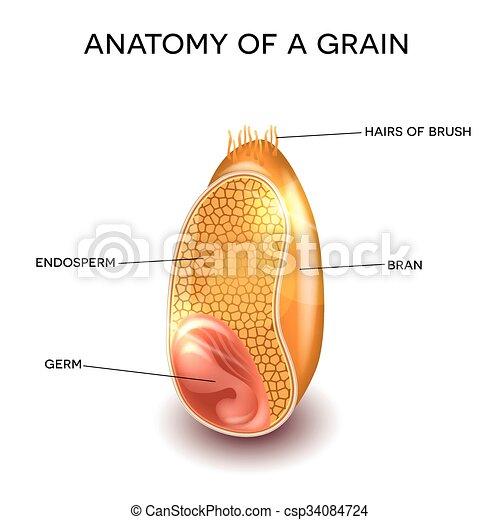 Anatomía de grano - csp34084724
