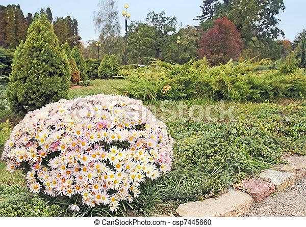 Arbusto de crisantemos - csp7445660