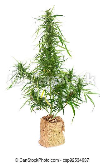 arbusto, potted, saco, blanco, médico, plano de fondo, paja, crecer, planta, marijuana, cannabis - csp92534637