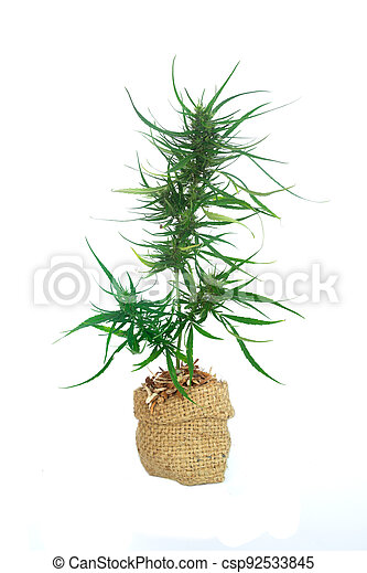 arbusto, potted, saco, blanco, médico, plano de fondo, paja, crecer, planta, marijuana, cannabis - csp92533845