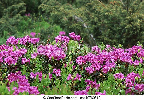 Arbusto rododendro floreciente - csp19760519