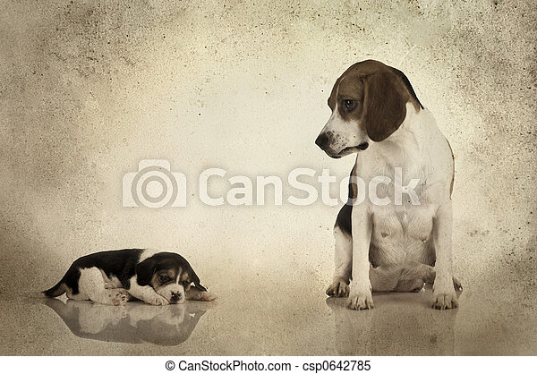 Beagle mama - csp0642785