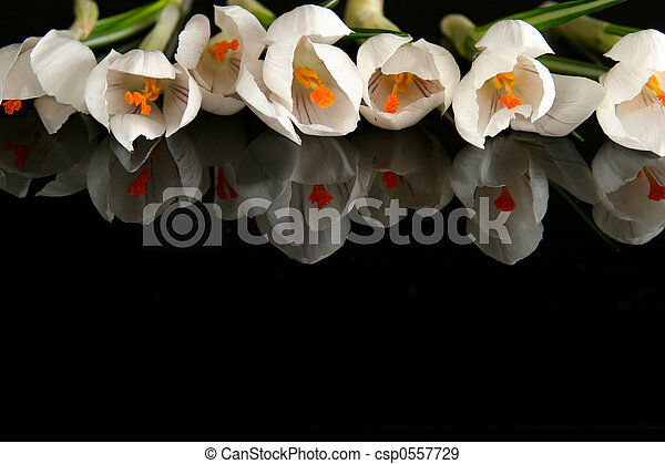 Crocus blanco - csp0557729