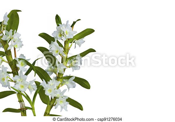 blanco, dendrobium, aislado, orquídea, nibile - csp91276034