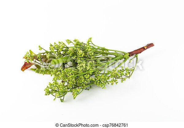 blanco, nim, siamés, margosa, aislado, fondo., árbol, neem - csp76842761