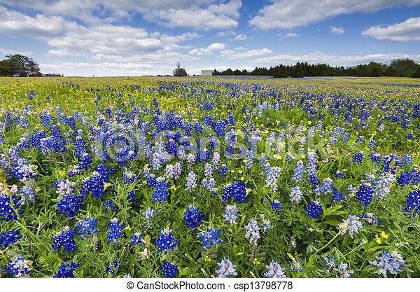 Campos Bluebonnet en Palmer, TX - csp13798778