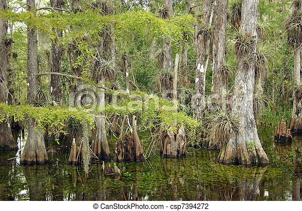 Bosque ciprés, parque nacional Everglades - csp7394272