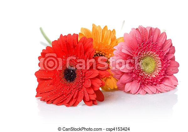 Bouquet de Daisy-gerbera con gotas de agua aisladas en blanco - csp4153424