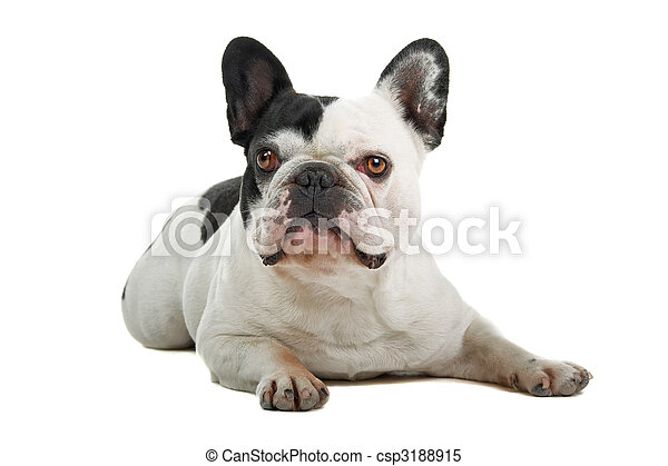 Bulldog francés (frenchie) - csp3188915