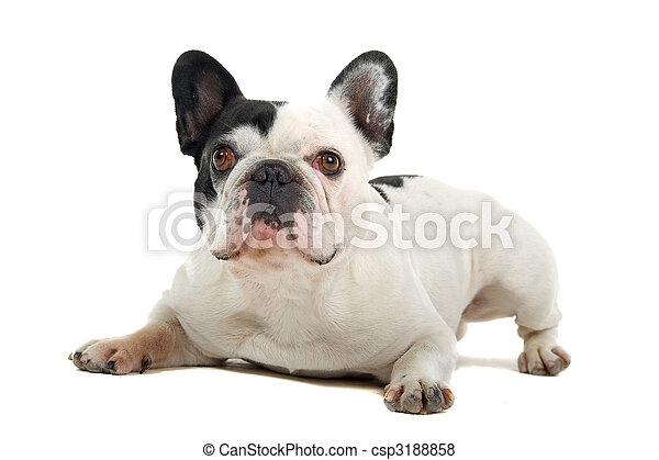 Bulldog francés (frenchie) - csp3188858