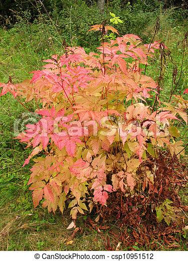 Bush aruncus dioicus en otoño - csp10951512