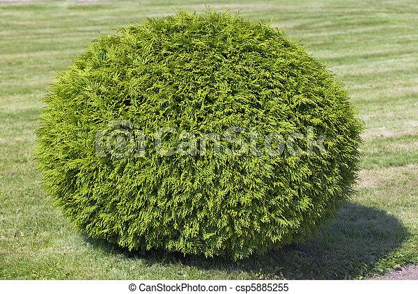 Bush de cipress, cortado en forma de esfera - csp5885255