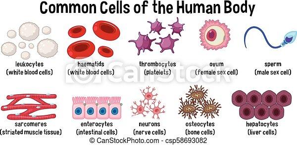 Células comunes del cuerpo humano - csp58693082