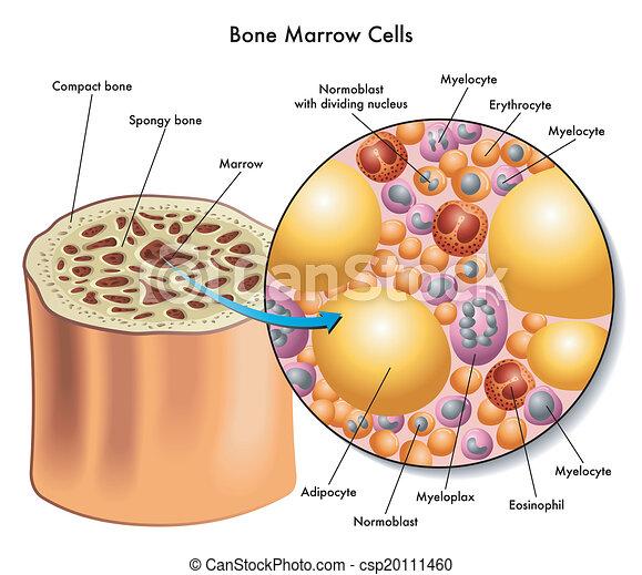 Células de médula ósea - csp20111460