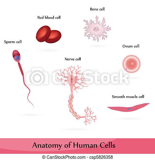 Células humanas - csp5826358