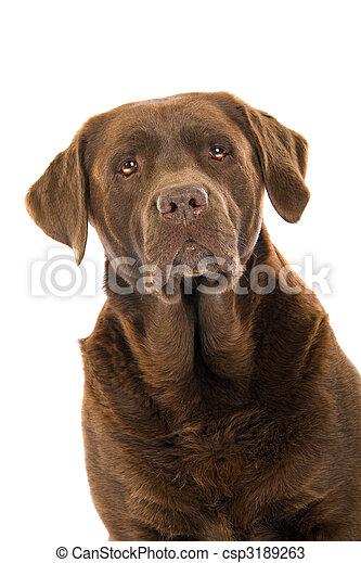 Cabeza de perro labrador de chocolate - csp3189263
