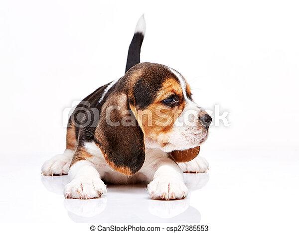 Cachorro Beagle en fondo blanco - csp27385553