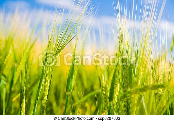 Campo de trigo. Agricultura - csp8287003