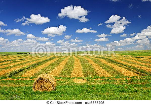 Campo de trigo en la cosecha - csp6555495