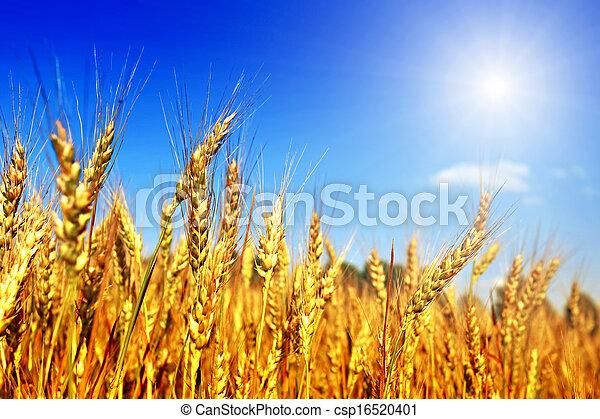 Campo de trigo y cielo azul - csp16520401