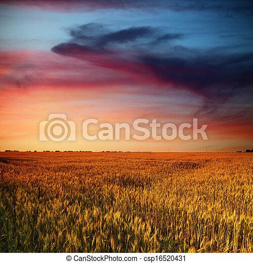 Campo de trigo y nubes de belleza en el atardecer - csp16520431
