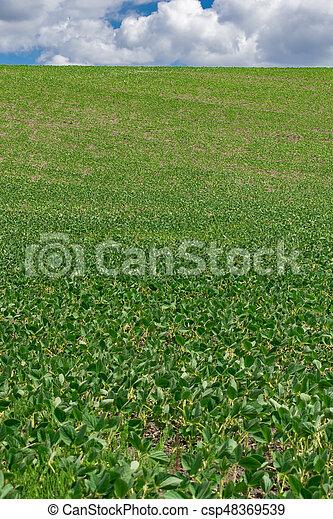 Campo de soja en verano - csp48369539