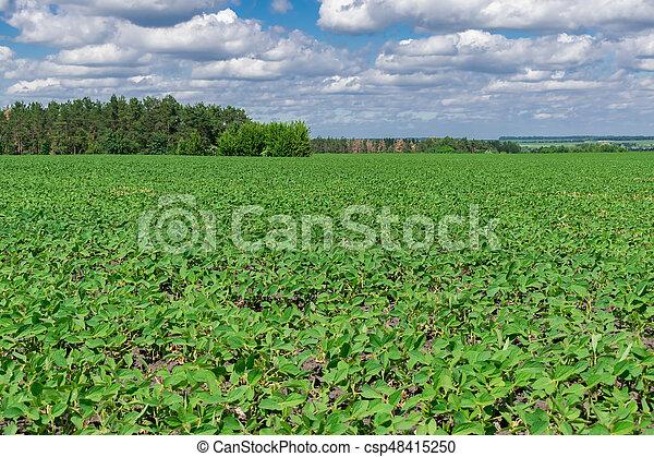 Campo de soja en verano - csp48415250