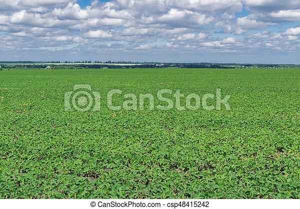 Campo de soja en verano - csp48415242