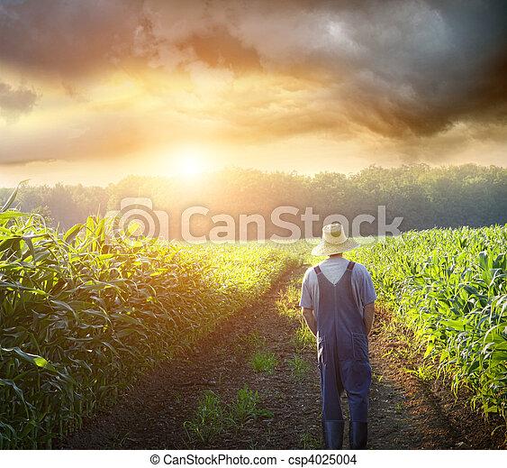 Granjero caminando en campos de maíz al atardecer - csp4025004
