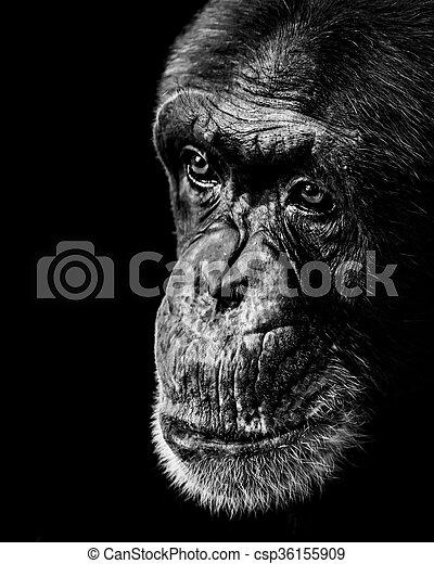 Chimpancé XX BW - csp36155909