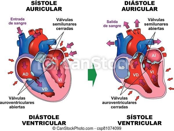 ciclo, coraz?n, -, d?stole, humano, cardiaco, s?stole - csp81074099