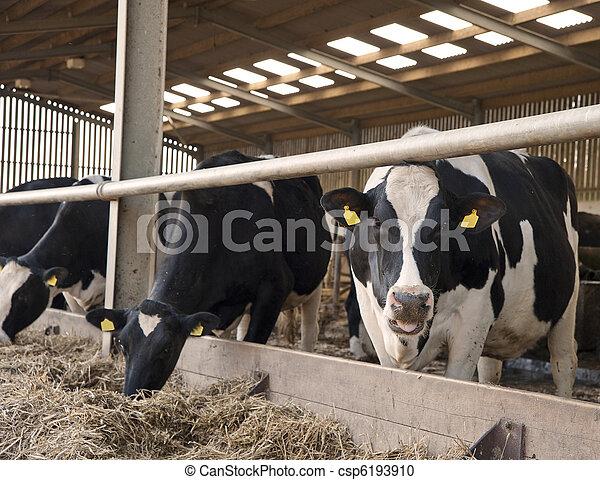Vacas en el cobertizo para ordeñar a los granjeros - csp6193910