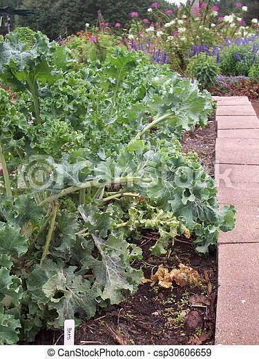 Kale - csp30606659