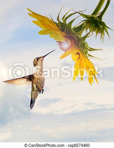 El concepto de colibrí girasol. - csp8274460