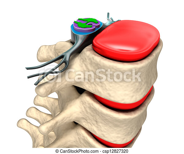 Columna espinal con nervios y discos - csp12827320