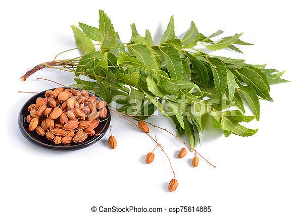 conocido, comúnmente, neem, nimtree, lilac., azadirachta, fruta, indica, indio, leaves., aislado, o - csp75614885