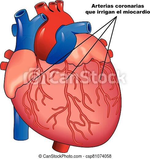 coraz?n, coronarias, humano, miocardio, arterias - csp81074058