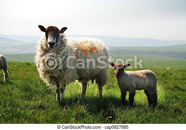 Ewe y cordero - csp0827885