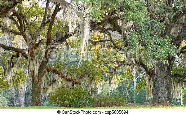 Árboles con musgo español colgando de las ramas - csp5605694